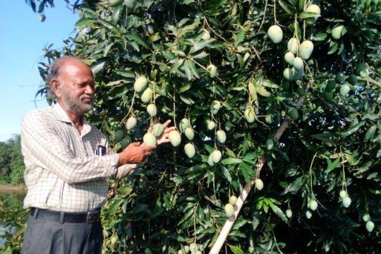IMG:সফল আম চাষী অধ্যক্ষ জয়নাল আবেদীন